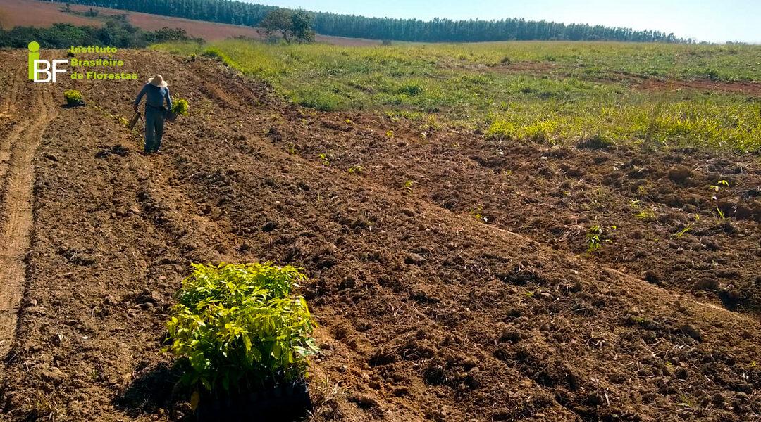 Como saber se a área tem potencial para cultivo de Mogno Africano