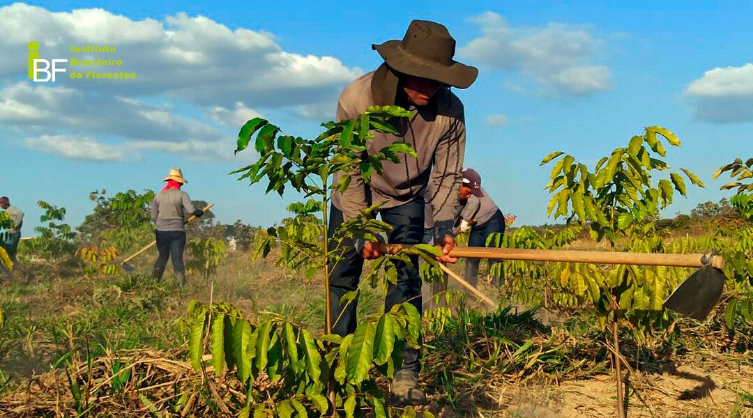 A implantação de lavoura florestam de mogno africano
