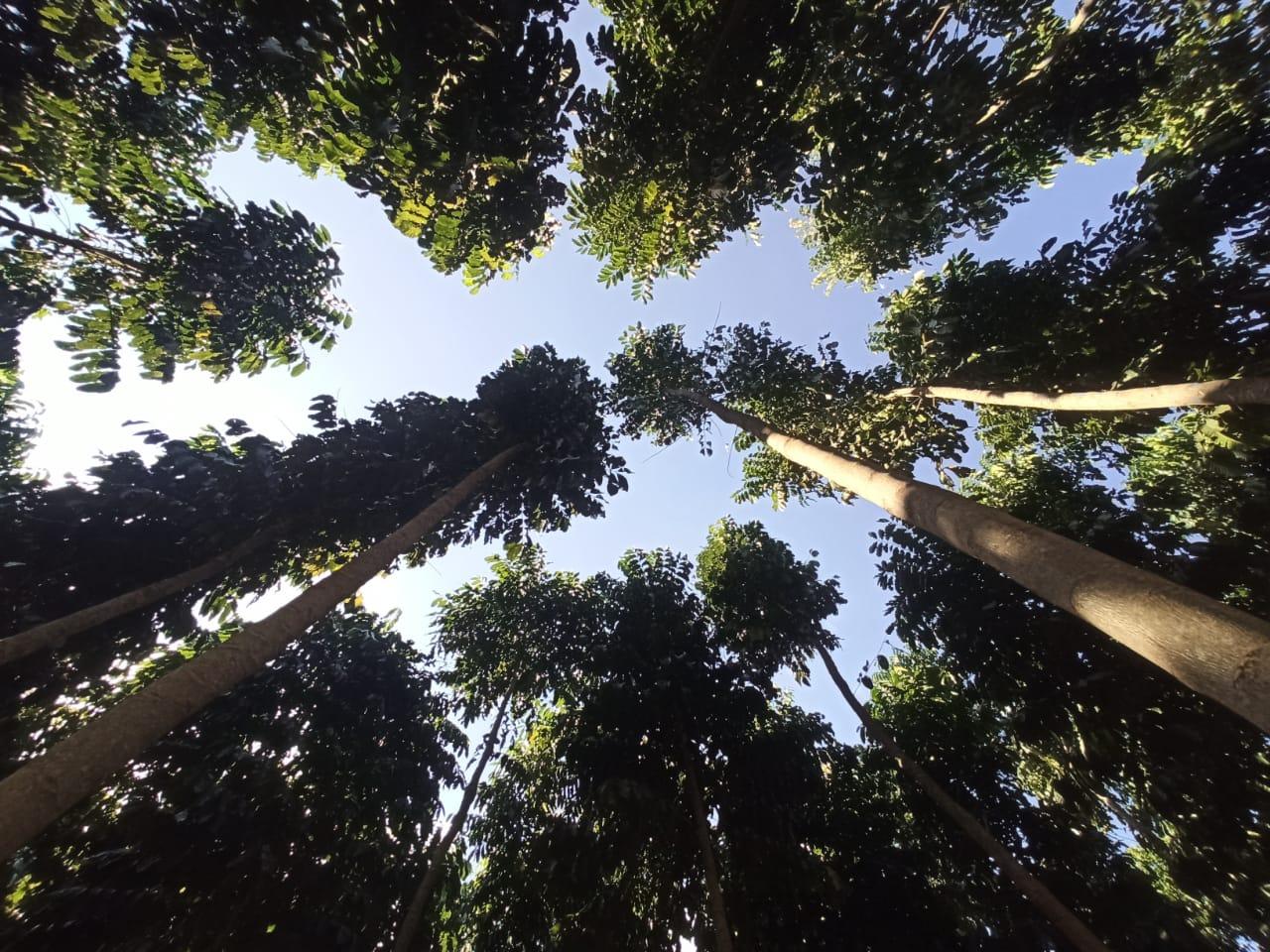 polo-florestal-de-mogno-africano